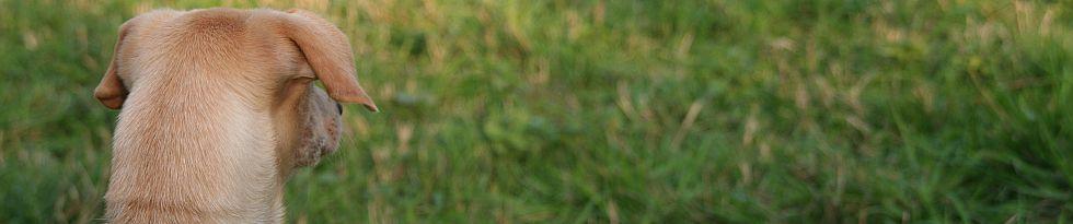 Brauner Jagdhund mit aufmerksam gespitzten Ohren auf einer grünen Wiese, von hinten fotografiert
