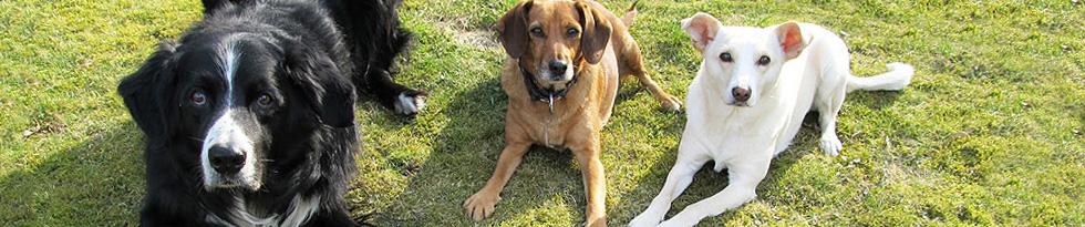 Drei Hunde (Schwarzer Border-Mix, hell-brauner Dackelmix, weißer Terriermix) liegen in aufmerksamem Platz auf einer Wiese