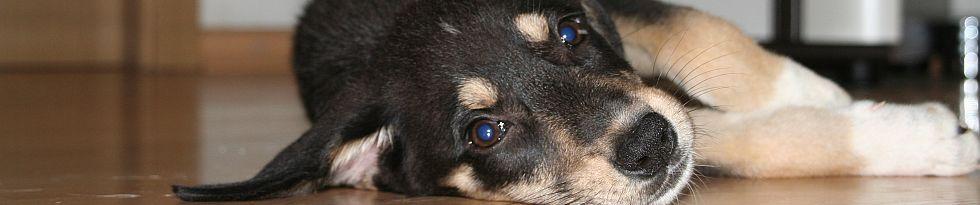 junger Hund liegt auf der Seite ganz entspannt auf dem Parkettboden