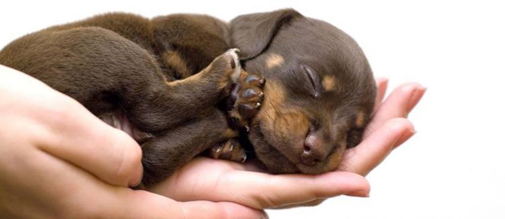 Kleiner dunkelbrauner Welpe schläft auf einer Hand
